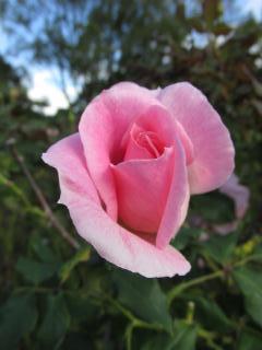 須磨離宮公園 薔薇5