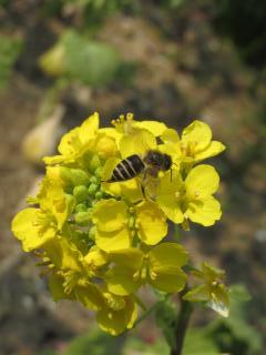 須磨離宮 菜の花