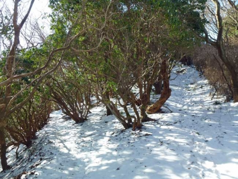 馬酔木の林の登山道
