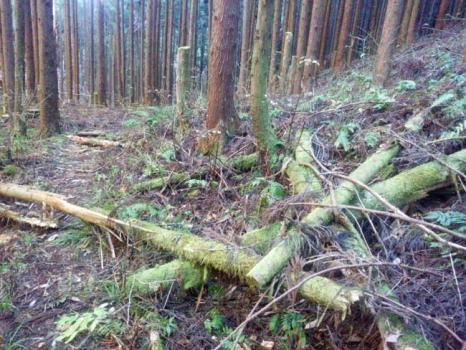間伐材が散乱する登山道