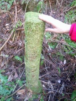 間伐後の切株の苔