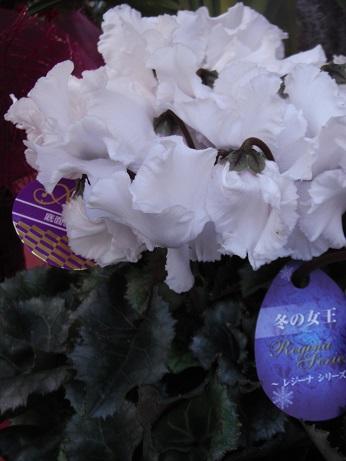 20151219シクラ レジーナ