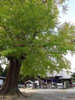 5地蔵寺の大銀杏