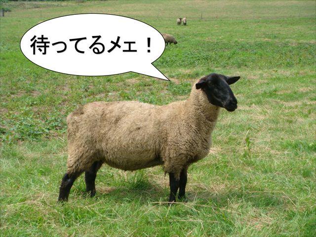 羊写真_R