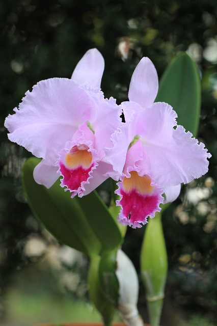 C.trianaei 'The Premier'FCC/RHS