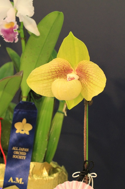 "Paph.Shun-Fa Golden ""Sun Morning"""