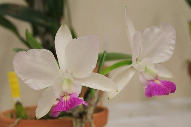 "C.walkeriana ( semi-alba ""Tokyo No1"" ) × ( aquinii ""Gloriosa"" )"