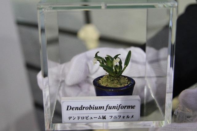 世界最小の蘭 デンドロビューム属 フニフォルメ