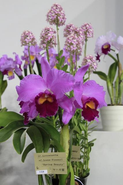 """(C.Arrownetta × C.Iren Finney) """"Spring Beauty"""""""