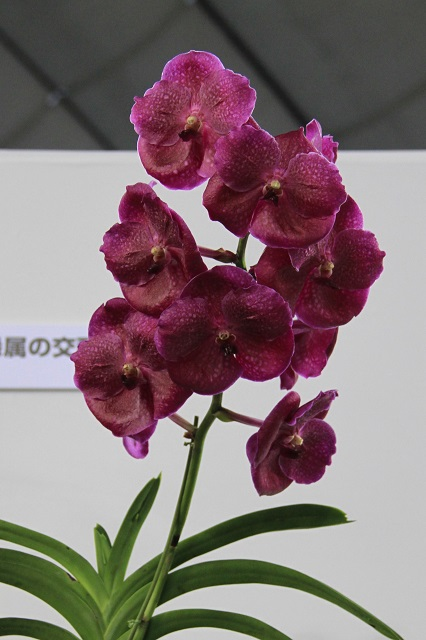 "V.Pure's Wax ""Shinobu"""