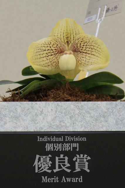 "Paph.Wossner Favourite ""Mass's""(優良賞)"