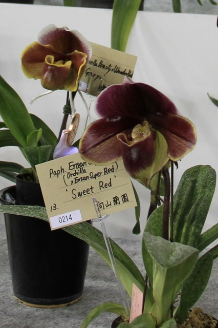 """Paph.Enzan Super Orch """"Sweet Red"""""""