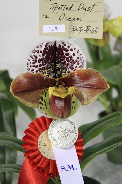 "Paph.Spotted Dust ""Ocean"""