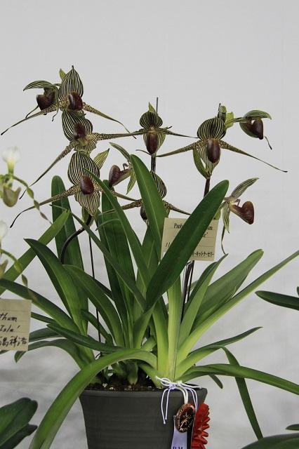 "Paph.rothschildianum ""Giant Star"""