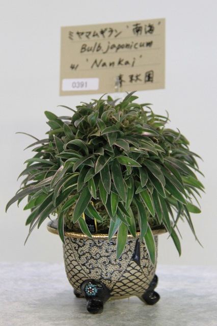 "Bulb.japonicum ""Nankai"""
