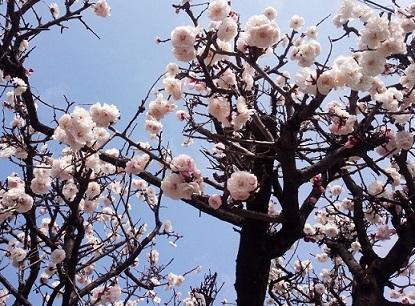 近所の梅が咲いた