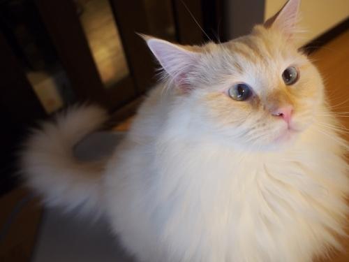 まん丸白玉猫