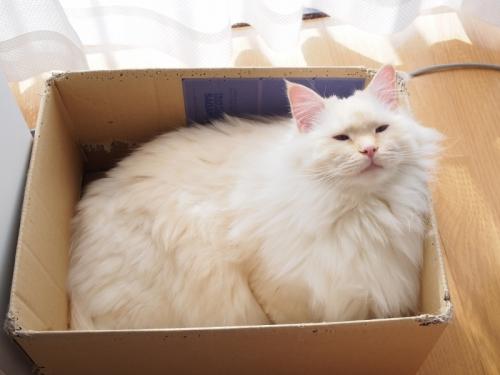 箱入り白玉猫3
