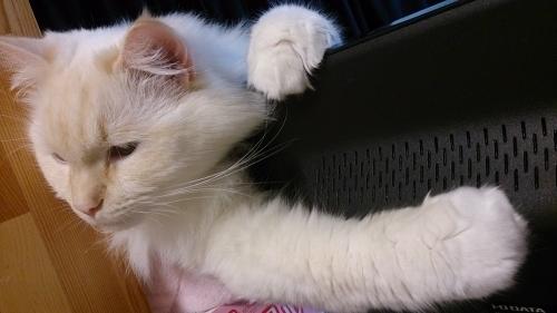 白玉猫‗掴む!1