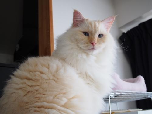 白玉猫_しょうめん
