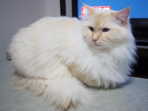 白玉猫_おしり2