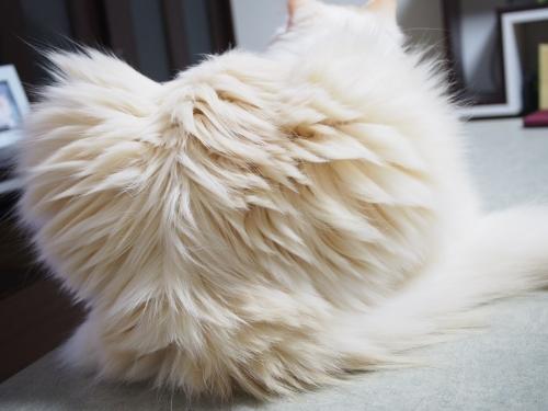 白玉猫_おしり3