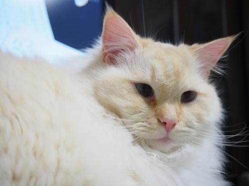 白玉猫_おしり5