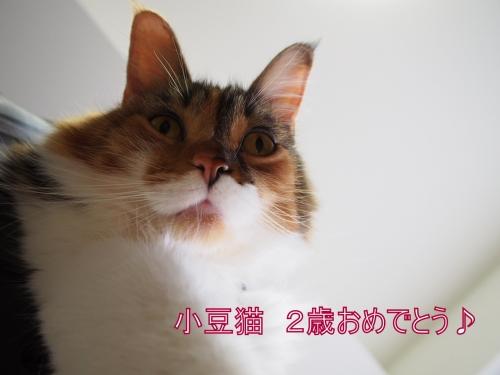 小豆猫2歳_1