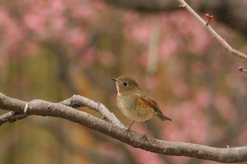 2010-02-18 万博自然文化園 025 梅 に ルリビタキ (メス) 480×320