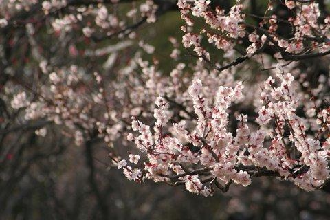 02, 2009-03-07 万博自然文化園 055 豊後 (ぶんご、梅)。 480×320