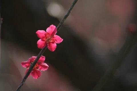 04, 2009-03-07 万博自然文化園 032 蝶千鳥 (ちょうちどり、梅)。 480×320