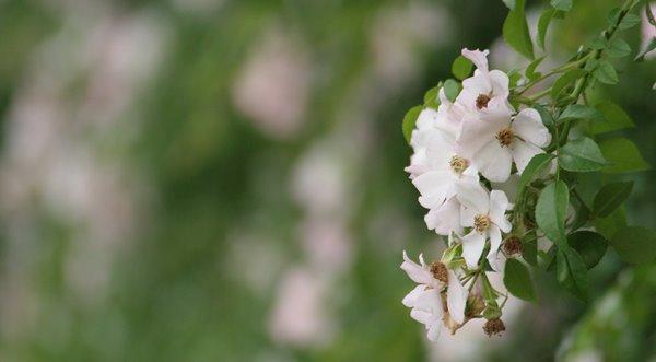 2008-06-18 中之島バラの小径 靭公園 037 ノイバラ (ロサ ムルティフローラ、系統:原種 - Species、バラ)。 600×331