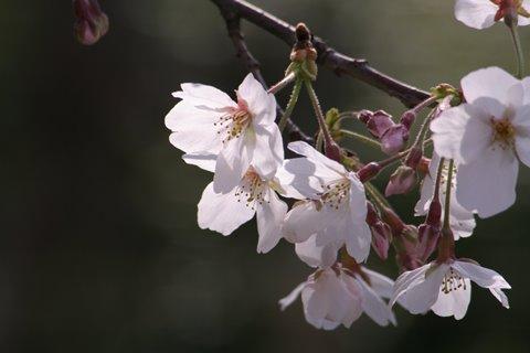 05, 2008-04-01 毛馬桜之宮 043 ソメイヨシノ その1。 480×320