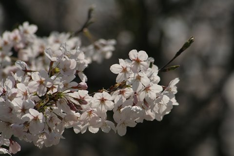 07, 2009-04-07 万博自然文化園 042 ソメイヨシノその3。 480×320