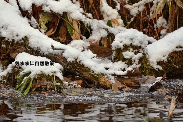 ミソサザイ研究林 (1)
