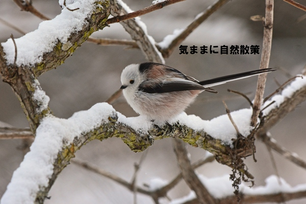 シマエナガ研究林 (1)