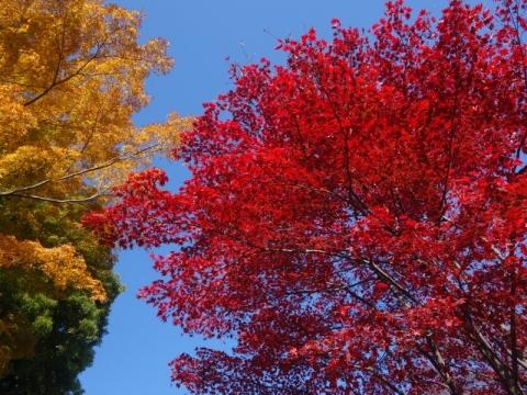 都心で紅葉真っ盛り