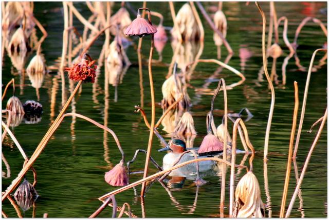 青森県 平川市 野鳥 鳥 写真 水鳥 猿賀神社 猿賀公園 コガモ