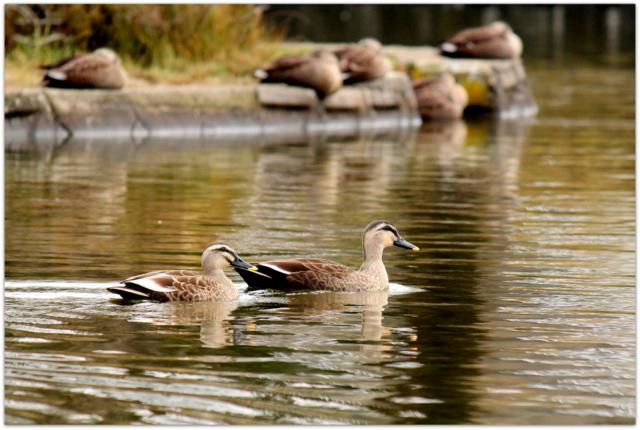 青森県 平川市 野鳥 鳥 写真 水鳥 猿賀神社 猿賀公園 カルガモ
