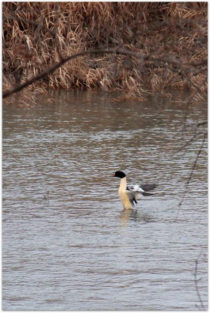 青森県 弘前市 岩木川 鳥 野鳥 水鳥 写真 カワアイサ