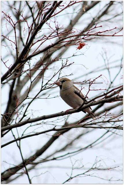 青森県 平川市 猿賀公園 猿賀神社 野鳥 鳥 水鳥 シメ 写真