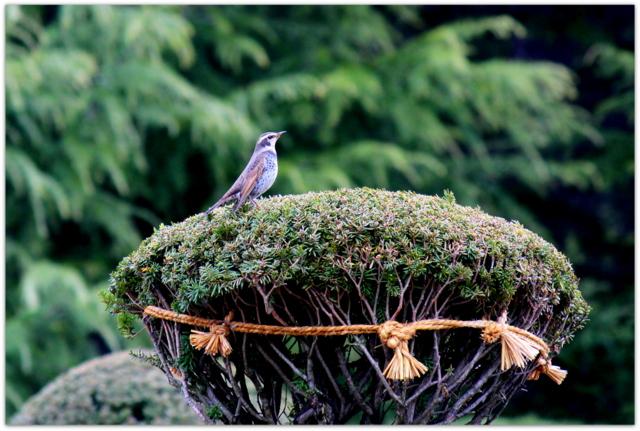 青森県 平川市 猿賀公園 猿賀神社 野鳥 鳥 水鳥 ツグミ 写真