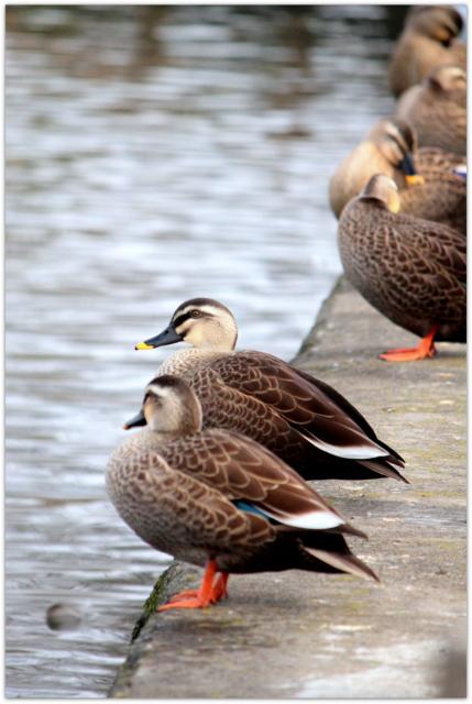 青森県 平川市 猿賀公園 野鳥 水鳥 鳥の写真 カルガモ