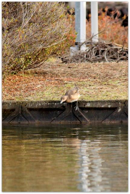 青森県 平川市 猿賀公園 猿賀神社 野鳥 鳥の写真 水鳥 渡り鳥 ヒドリガモ