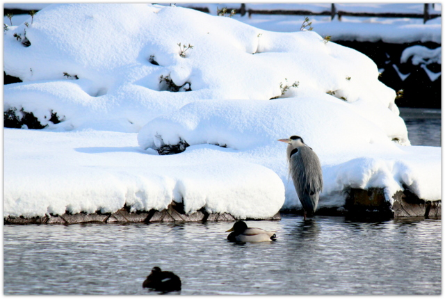青森県 平川市 猿賀神社 猿賀公園 野鳥 青鷺 あおさぎ アオサギ 鳥の写真