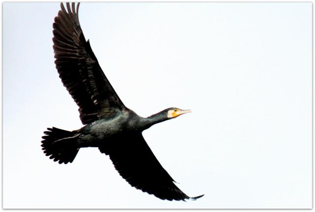 青森県 平川市 猿賀神社 猿賀公園 野鳥 鳥の写真 鵜 カワウ