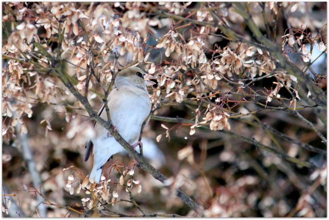 青森県 弘前市 野鳥 鳥の写真 しめ シメ