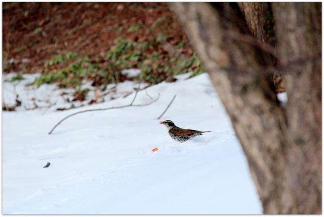 青森県 弘前市 野鳥 鳥の写真 渡り鳥 つぐみ ツグミ
