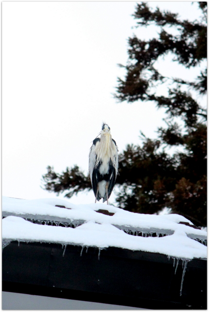 青森県 平川市 猿賀公園 猿賀神社 野鳥 青鷺 アオサギ 鳥の写真