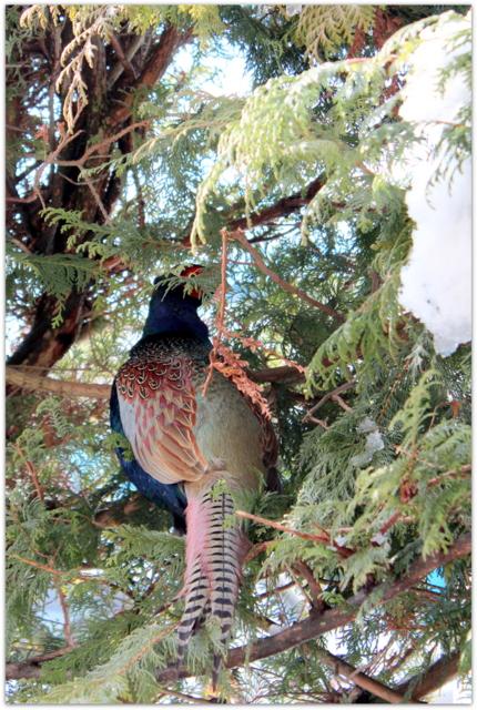 青森県 弘前市 野鳥 鳥の写真 国鳥 きじ 雉 キジ